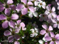 Golden Diosma - Coleonema pulchrum flowers