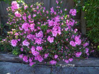 Azalea in bloom Spetember 2016
