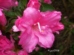 Azalea pink colour