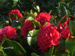 Camellia japonica in bloom