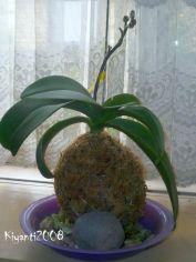 kokedama-phalaenopsis-orchid-no-2