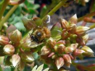 aeonium-haworthii-flowers-and-a-bee