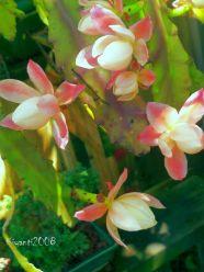 epiphyllum-deutsche-kaiserin-nopalxochia-phylanthoides-_-beautiful-flower-buds