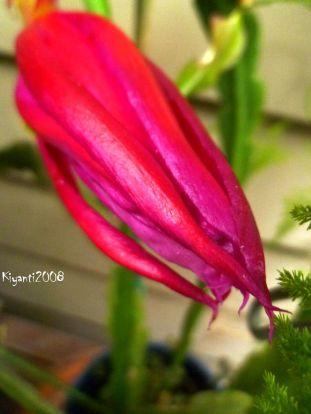 epiphyllum-great-waltz-flower-bud