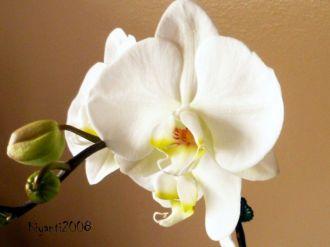phalaenopsis-large-white-flowers-mid-november-2016