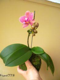 phalaenopsis-small-pink-flowers-kokedama