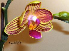 phalaenopsis-small-yellow-2-spikes
