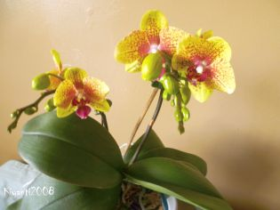 phalaenopsis-yellow-with-re-spots