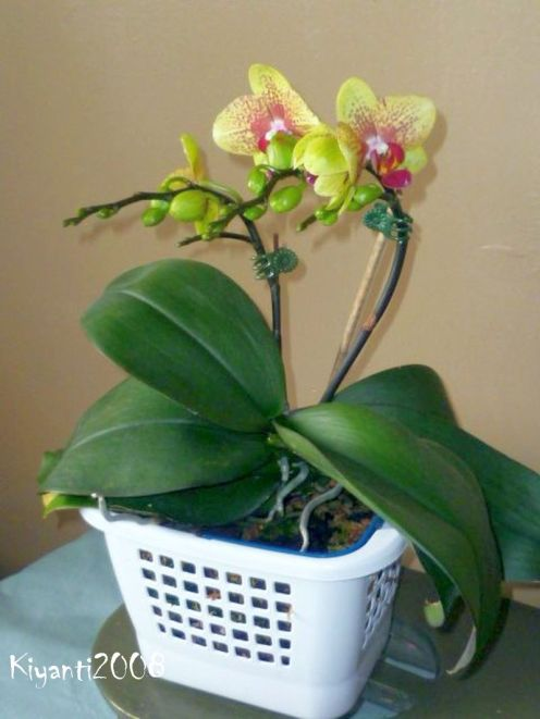 phalaenopsis-yellow