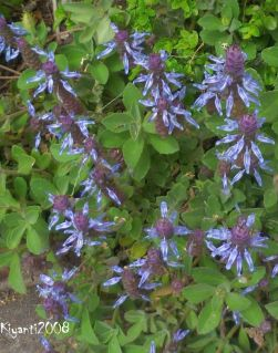 plectranthus-caninus-blue-candle-long-flowering