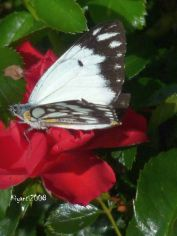 rose-and-a-butterfly (Caper White - Belenois Java) e