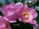 rose-pink-flower-carpet-in-bloom-2016