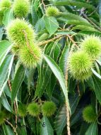 chestnut-tree-fulls-of-fruits