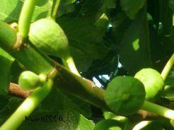fig-fruits