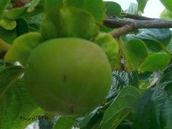 persimmon-1