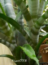 bromeliad-billbergia-2-pups-feb-2017