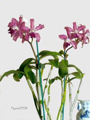 cattleya-amethystoglossa-orchid