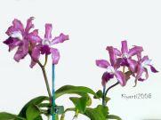 cattleya-amethystoglossa-x-orchid