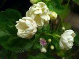 jasminum-sambac-arabian-jasmine