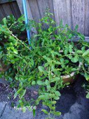Kaffir Lime - Citrus histrix - Jeruk Purut
