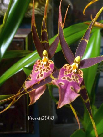 Orchid - Miltassia Shelob 'Tolkien'