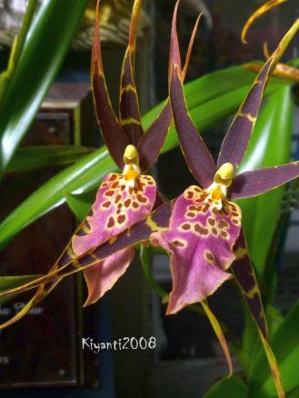 Orchid - Miltassia Shelob 'Tolkien'
