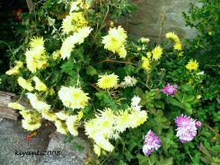 Chrysanthemum 2017