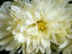 Chrysanthemum white autumn 2017