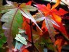 Japanese Maple - Acer palmatum bonsai