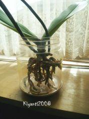 Phalaenopsis Semi Water Culture 4 -July 18 2017