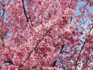 東山動植物園 春まつり 桜の回廊 01