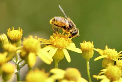 pollenallergi