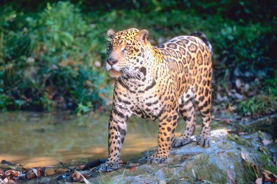 Jaguar-santiago-del-estero-turismo-parque-nacional-copo-guia-rural-argentina