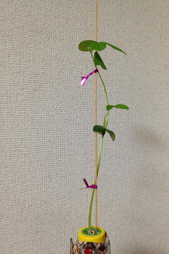 枝豆栽培.1