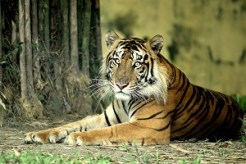 Harimau Sumatera yang semakin tersedak habitatnya akibat aktifitas manusia. Foto Heriyadi/Dok KKI Warsi