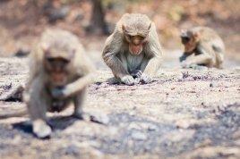 Affen im Sanjay Gandhi National Park