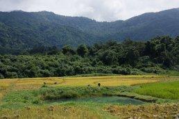Reisernte nahe Vang Vieng