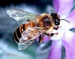 goldenhonebee