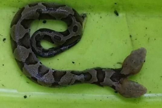 092318-two-headed-snake-2