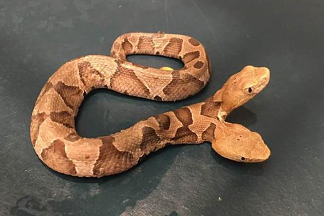 092318-two-headed-snake-feature1.jpg