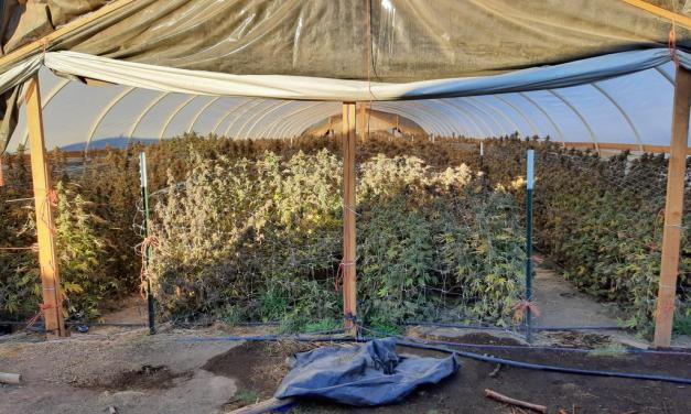 Over Fifty Thousand Illegal Marijuana Plants Destroyed in Bonanza