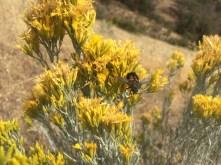 Tachynid fly on rubber rabbitbrush (Ericameria nauseosa)