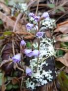 Snow queen or spring queen (Synthyris reniformis) blooming in February in the Klamath-Siskiyou