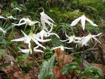Lemon fawn lily (Erythronium citrinum) in the Upper Applegate Valley