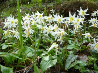 Oregon fawn lily (Erythronium oregonum) along the Rogue River