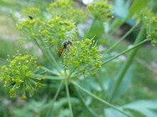 Native bee on Lomatium californicum flower