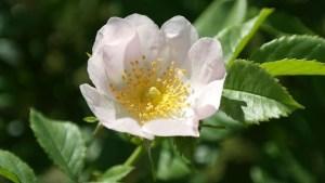 wild-rose-112183_640