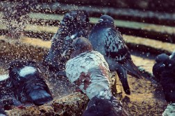 pigeons bathing