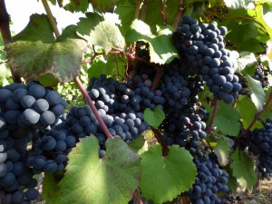 """""""Scuppernong"""" grapes"""