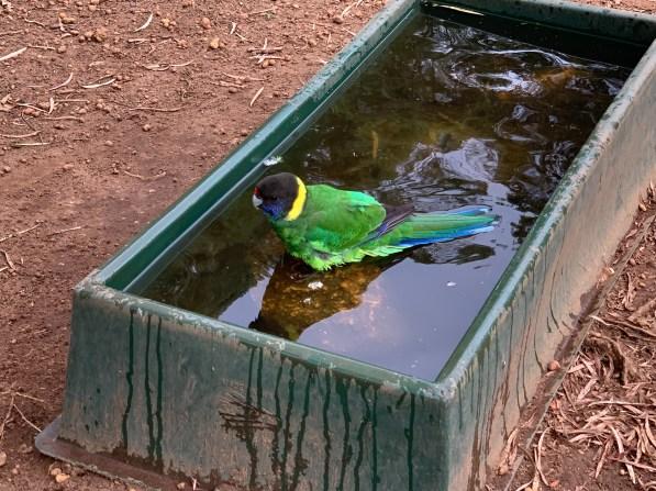 ringneck bird taking a bath